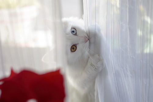 カーテンを咬む猫