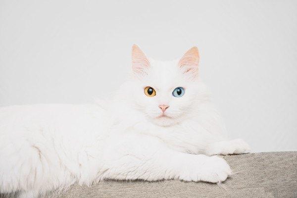オッドアイのヴァン猫