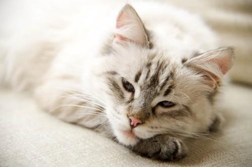 薄眼を開けて眠そうにしている猫