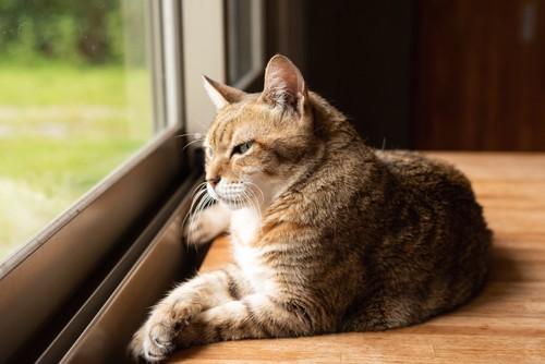 窓辺で外を見ながらくつろぐ猫