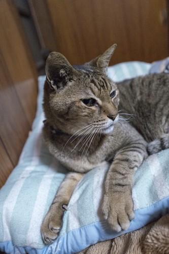 布団の上でくつろぐ老猫