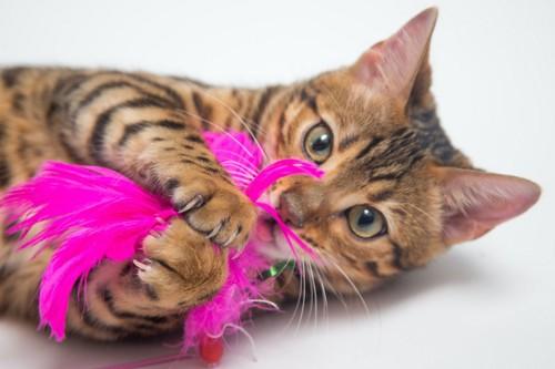 寝転んでピンクの羽の猫じゃらしで遊ぶ猫