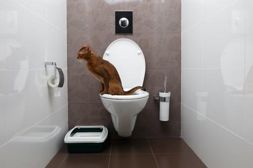 人間用の水洗トイレを使う猫