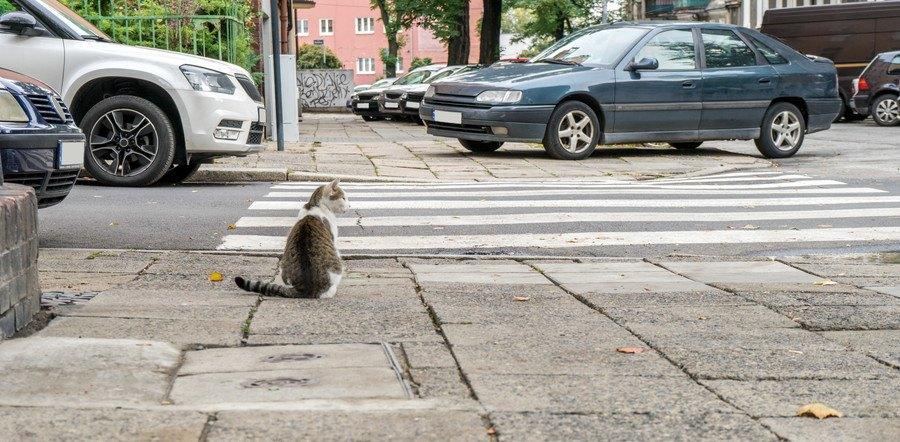 横断歩道で止まる猫