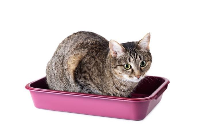 猫用トイレに座っている猫