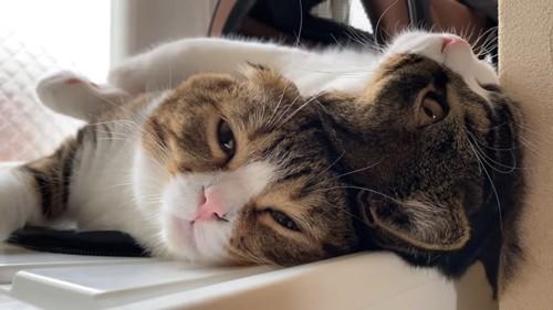 寝転がる2匹の猫の顔