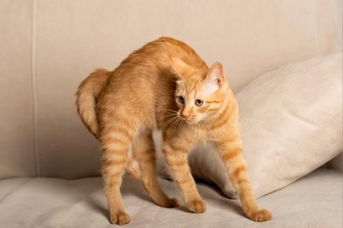 威嚇姿勢の茶トラ猫