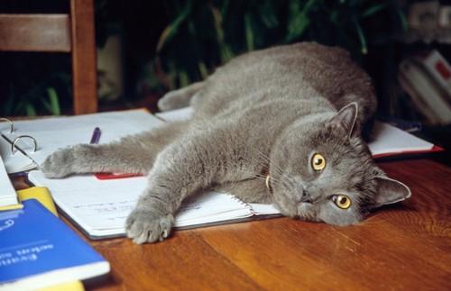 ノートの上に寝転んで邪魔をする猫