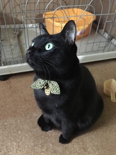 唐草の首輪の黒猫