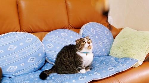 ソファーでお座りしている猫