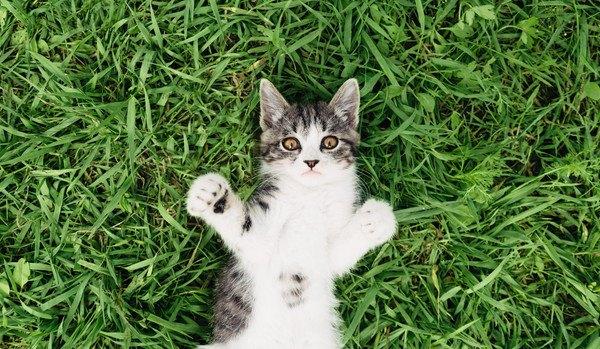 おなかを出す猫