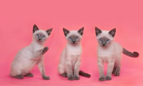 三匹のシャム猫