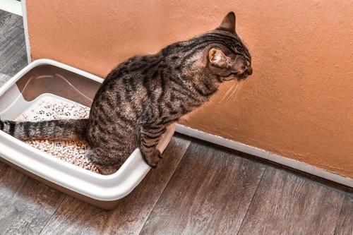 トイレの縁に足をかけて排泄する猫