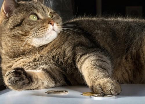 前足でコインを触る猫