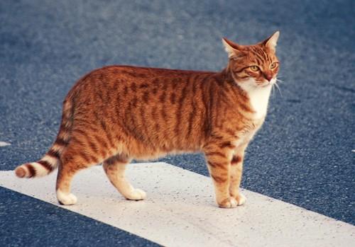 横断歩道を渡る猫