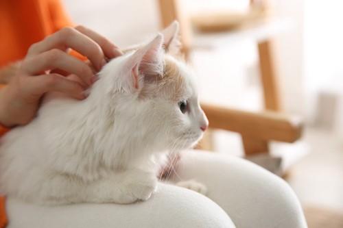 膝の上で頭を撫でてもらう猫
