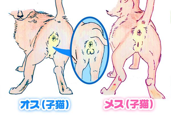 猫のオスメスを見分けるイラスト