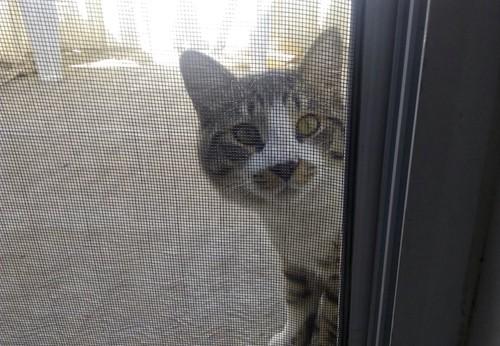 網戸越しにこちらを見つめる猫