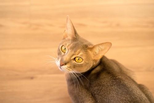振り返って上を見る猫