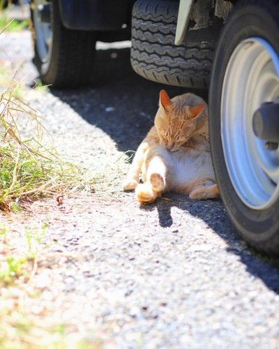 車の下で毛繕いをする猫