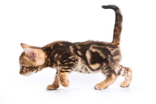 ブラウンマーブルドタビーの子猫