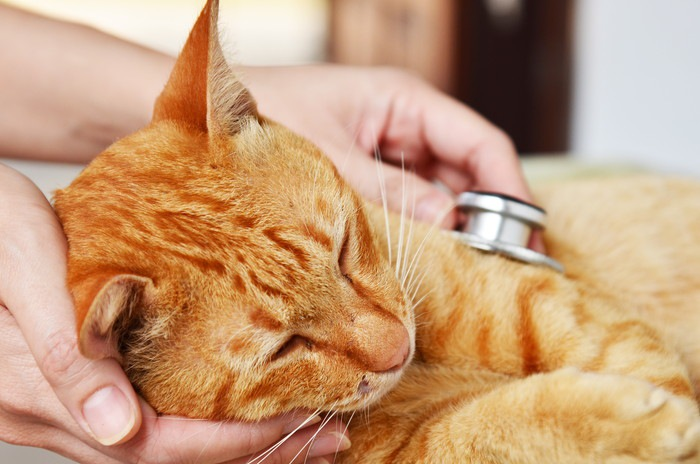 聴診器をあてられる茶猫