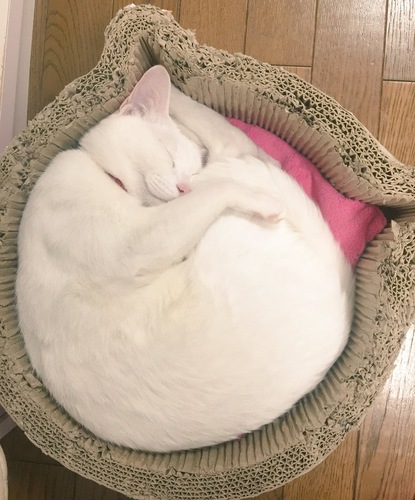 白猫のニャンモナイト