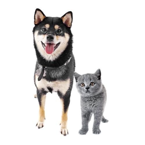並んで立ってこちらを見る黒柴と子猫