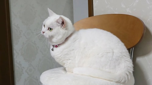 イスに座る猫