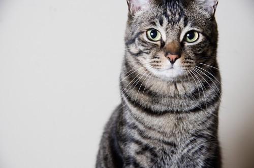 こちらをまっすぐ見つめるキジトラ猫