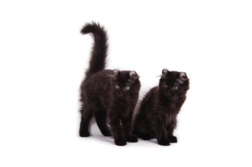 黒いアメリカンカール2匹