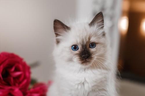 こちらを見つめるバーマンの子猫