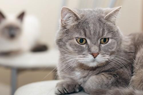 椅子の上で目をそらす猫