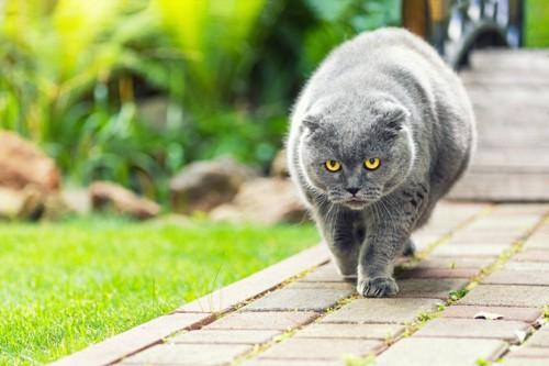 歩く肥満猫