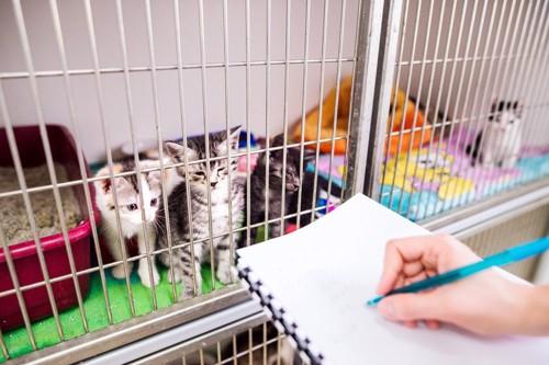 ケージの外を見る子猫たち