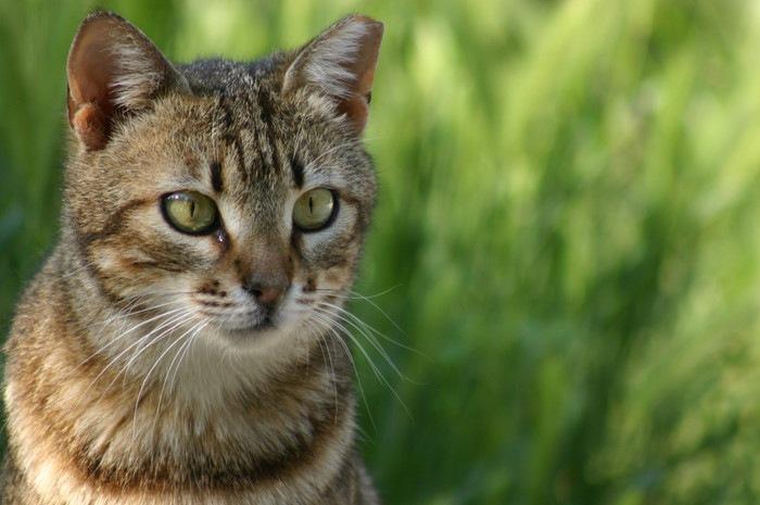 目やにを出す猫