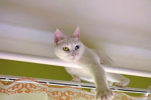 カーテンレールに登り遊ぶ猫