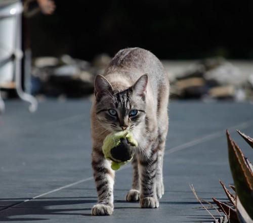 ボールを咥えて歩く猫