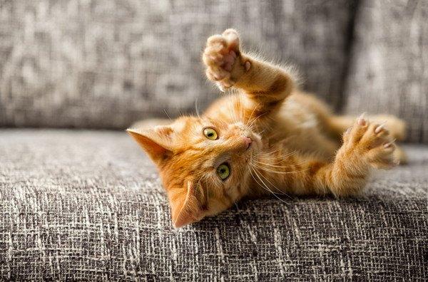 寝転がって手を挙げる茶色い猫
