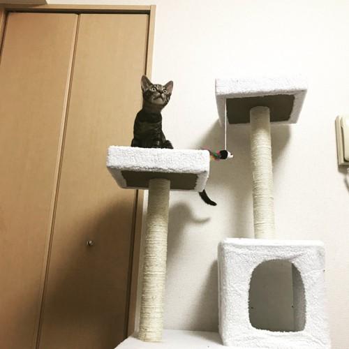 キャットタワーに座るねこ