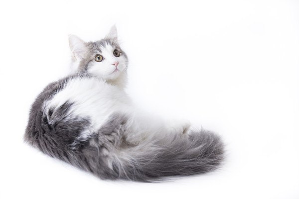 長毛種の子猫全体