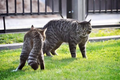 猫同士で見つめ合う猫