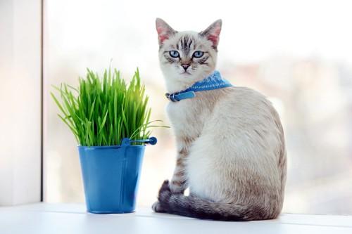スカーフ付きの首輪をする猫
