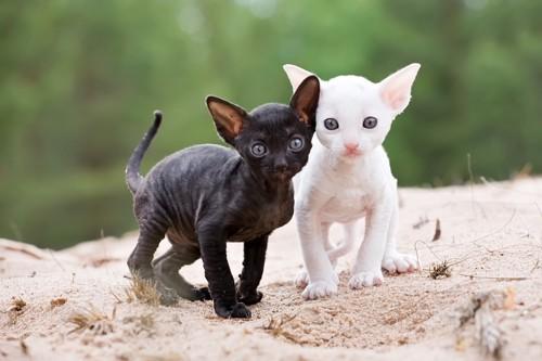 コーニッシュレックスの子猫たち