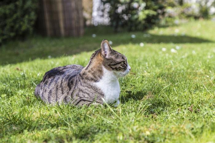 日向の芝生で座っている猫
