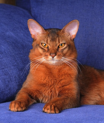 青いソファーに伏せてこちらを見るソマリ