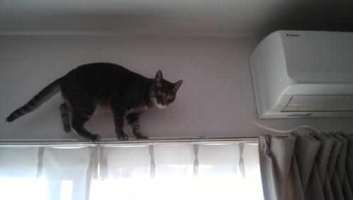 カーテンレールの上にいる灰色猫