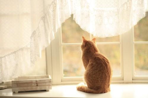 窓の外を見る茶トラの後ろ姿