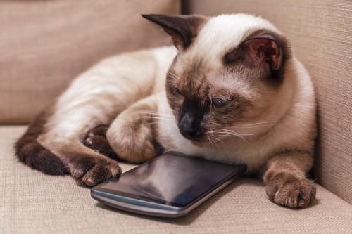 ソファーに置かれたスマホのそばで寛ぐ猫