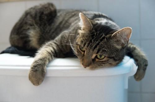 トイレの上で眠る猫